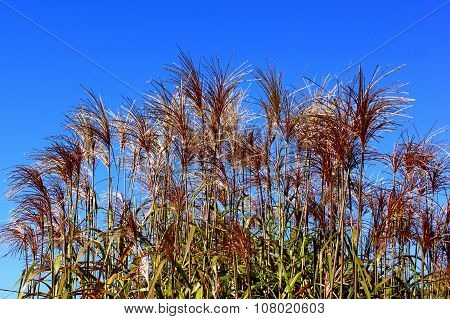 Reeds With Red Flowers