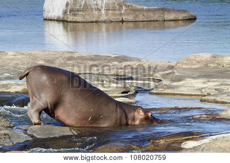 Hippopotamus In Kruger National Park