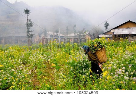 Unidentified ethnic minority old woman in a field of rapeseed flower in Hagiang