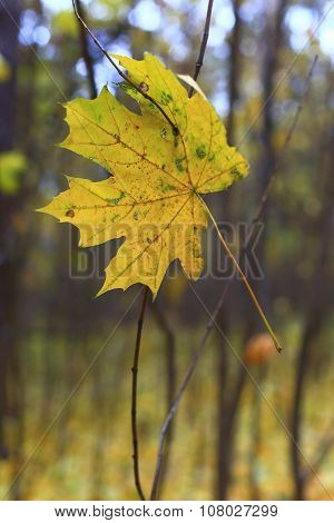 Old maple leaf.