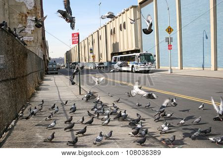 Flock Of Pigeons In Manhattan