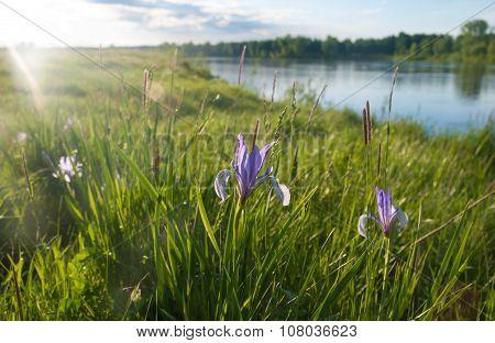 Duchesney iris (Iris biglumis Vahl)