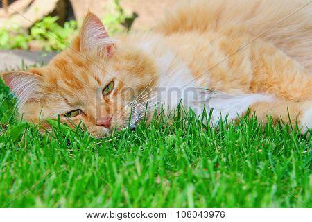 Orange Lazy Cat Sleeping On Green Grass