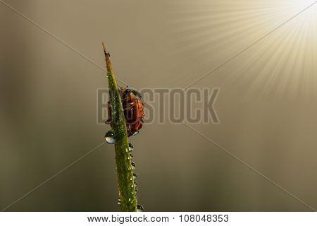 Fresh Morning Dew  With Ladybug