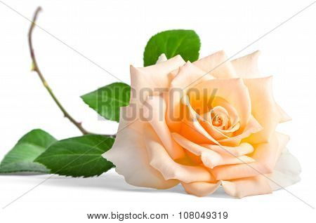 Beautiful Single Creame Rose Lying Down On A White Background