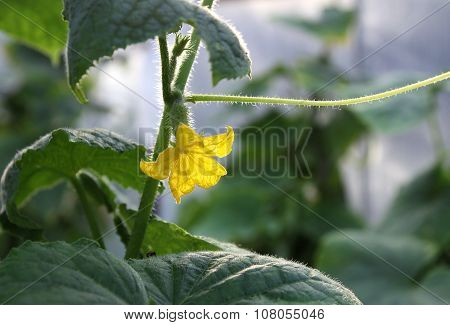 Flower And Germ Cucumber