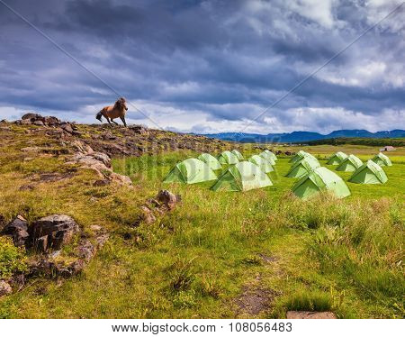 Magnificent Icelandic horse breed stopped on the crest of the hill. The picturesque green tent on green meadow. Summer holidays in Iceland