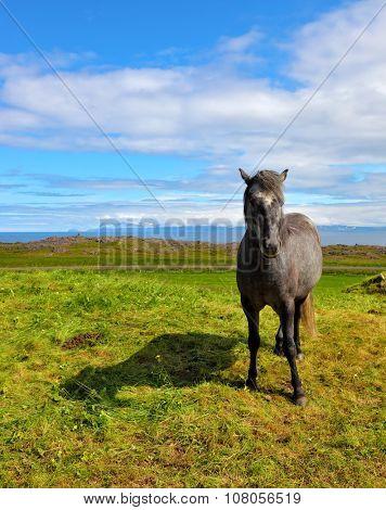 Beautiful horse grazing in a meadow near the farm. Farmer sleek gray horse. Iceland in July