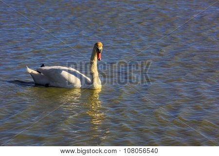 Sunset in the national park of Camargue, Provence. Great white swan in delta of the Rhone