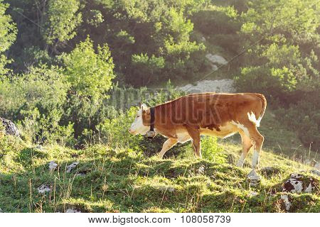 Red And White Calf Of Hereford Breed Cattle Grazing