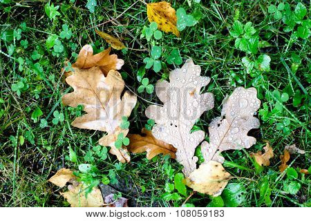 Brown Oak Leaves