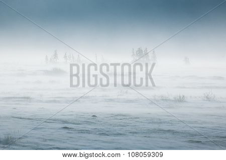 Snowstorm in tundra landscape with trees. low visibility conditions due to a snow storm in tundra