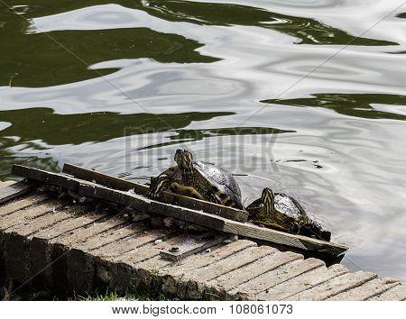 Tortoises Sunbathing In The Lake