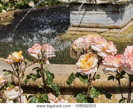 Close-up Pink Roses
