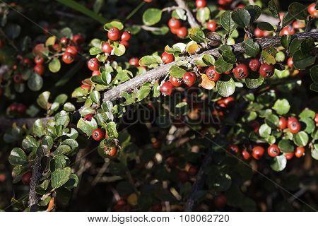 Shrub Of Red Fruits. Aucuba Japonica
