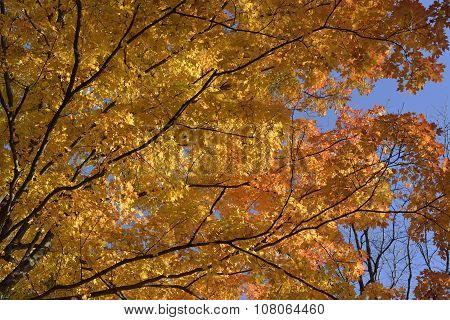 Maple Tree In Autumn Brilliance.