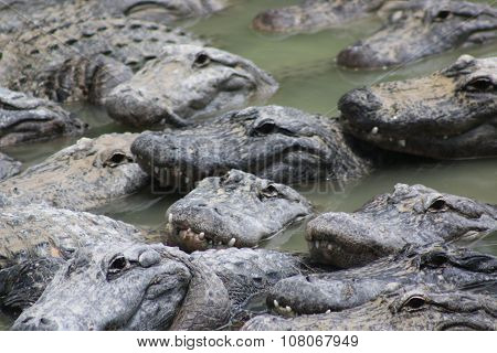 a picture of an american alligator in teh water