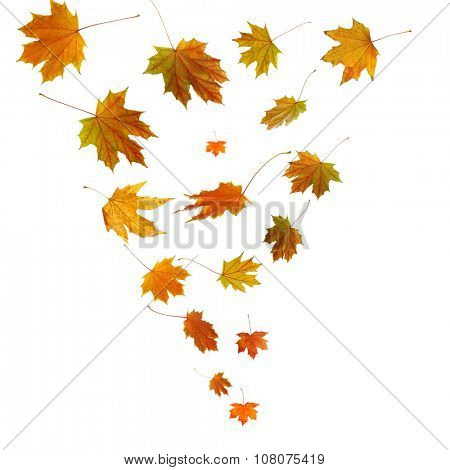 Autumn maple leaves falling down, isolated on white