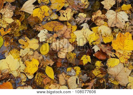 Fallen Leaves In Forest.