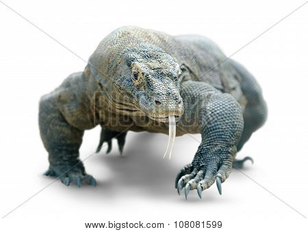Komodo Dragon Isolated