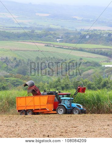 SAINT PAUL, REUNION ISLAND, FRANCE - NOVEMBER 4, 2015: Harvest of sugar cane for rum production in Savanna Distillery. It is traditional industry with long history dating to 18th century.