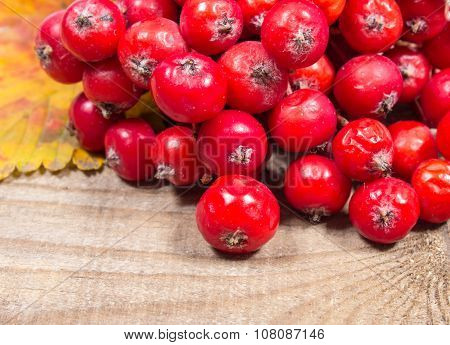Fresh Fruit Of Hawthorn. The Concept Of Alternative Medicine.