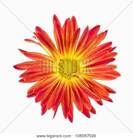 Vibrant Red Rover Chrysanthemum On White