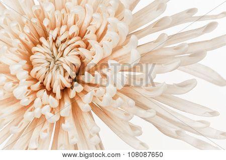 Pastel Coral Mum Flower