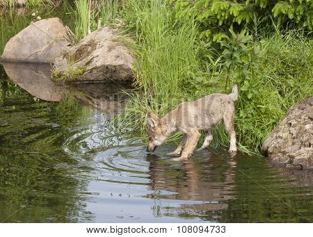 Wolf Puppy Drinking from a Lake