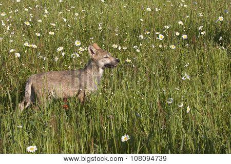 Wolf Pup Walking in a Meadow