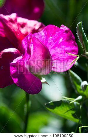Sweet Pea Bloom