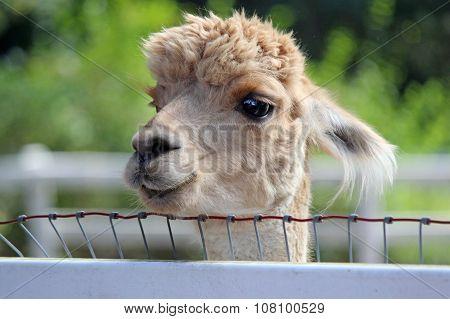 Curious Alpaca