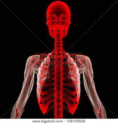 Human Skeleton Skull and Ribs with Muscles
