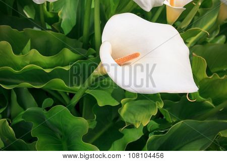 Callas With Leafs At The Garden