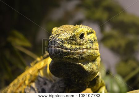 Yellow And Black Lizard