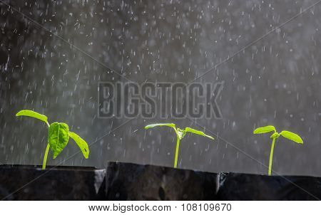 Sprout Papaya