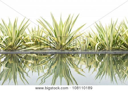 Green Agave Decorative Plant Beside Of Water Pond On White