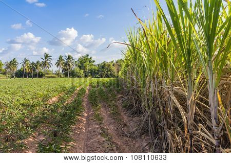 Planter Crop rotation sugarcane and cassava. For send Factory transform food and Ethanol. Made income all year round.