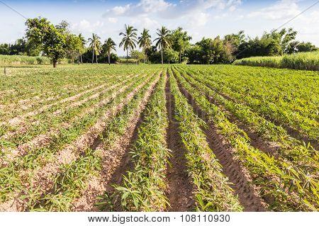 Landscape Cassava