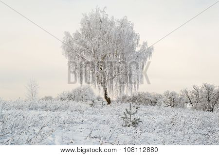 Solitary Tree Frosted In Winter