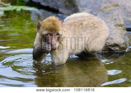 Portrait of Young Barbary Macaque