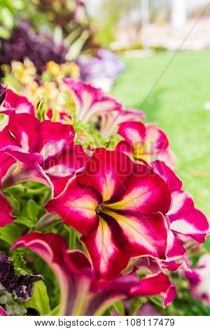Background Of Blooming Petunias
