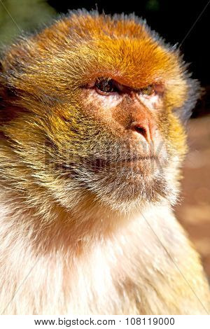 Old Monkey In Africa   Natural Background Fauna