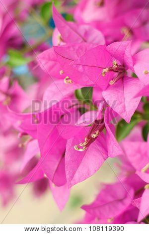 Pink Bougainvillea Flowers