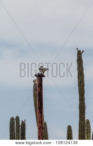 Pigeon Perch By Cactuses