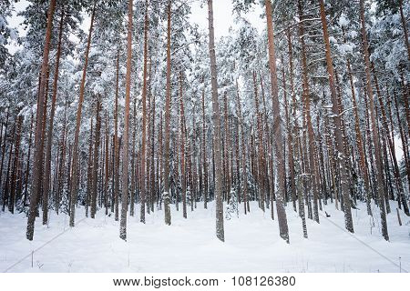 Winter Pine Tree Forest
