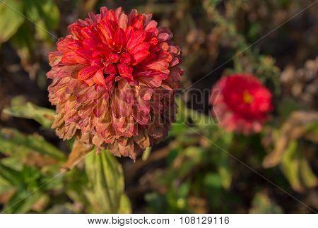 Fading Dahlia In The Autumn Garden. Flowers And Gardens