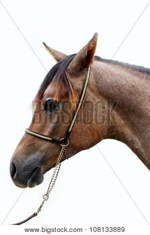 Head Of A Shagya Arabian Horse Against White Background