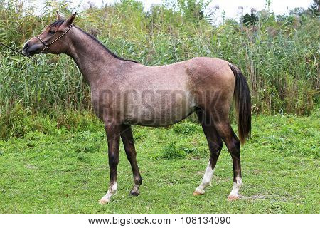 Young Purebred Mare Standing Against Green Reed