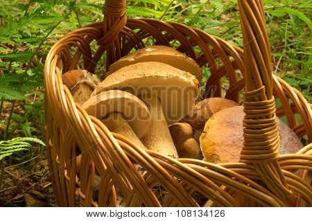 Mushrooms picking with basket full of boletus mushrooms
